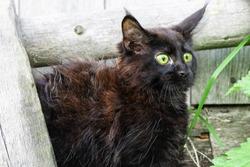Little black kitten Maine Coon breed in the yard. Scared kitten