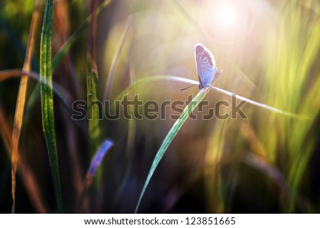 Little blue butterfly in sunset