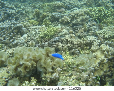 Little Blue Fish, Samoa