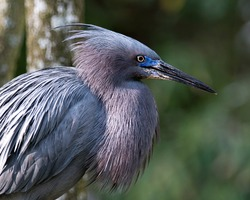 Little Blue Heron bird close-up head profile view displaying blue feathers, body, beak, head, eye, with a bokeh background in its environment and surrounding.