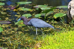 Little Blue Heron, Egretta Caerulea, Everglades, Florida, North America