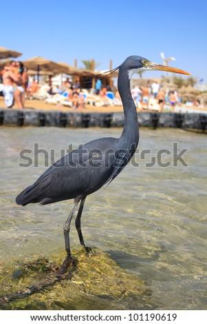 Little blue heron (Egretta caerulea) on the beach in Naama Bay in Sharm El Sheikh, Egypt