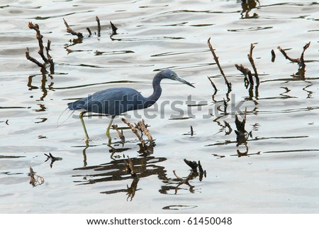 Little Blue Heron fishing in a marsh near the Chesapeake Bay in Maryland