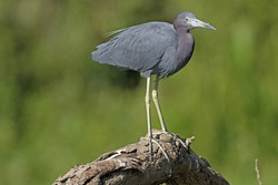 Little Blue Heron Perched on a Tree in Tortuguero National Park in Costa Rica