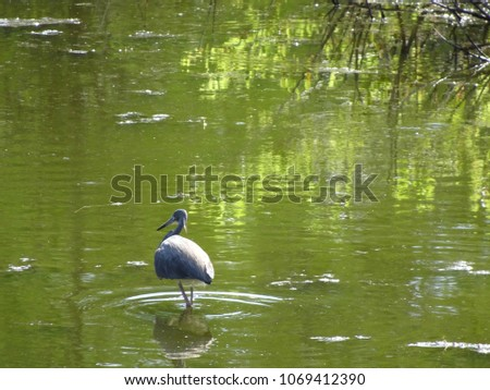 little blue heron wading in the water #1069412390