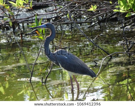 little blue heron wading in the water #1069412396