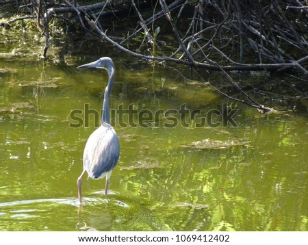 little blue heron wading in the water #1069412402