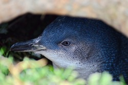 Little Blue Penguin, Katiki Point, Moeraki Peninsula, North Otago, New Zealand..