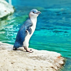 Little blue penguin on the rock