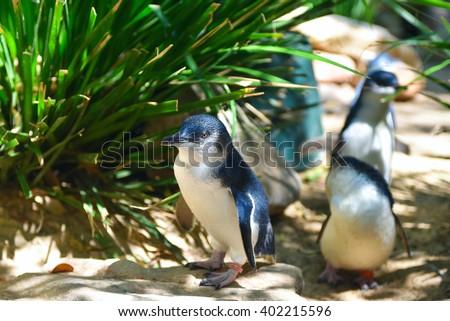 Little blue penguins walking in a herd in Featherdale Wildlife park zoo in Australia