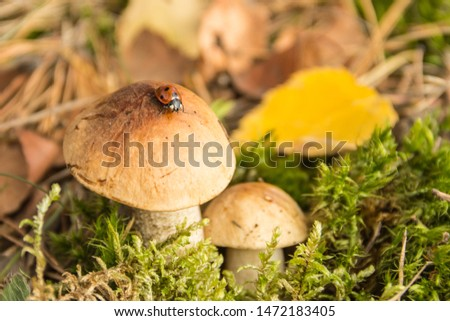 Little boletus with a ladybug on a soft green moss in the autumn forest in the early morning.