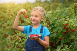 Little boy picking red currants in a fruit orchard