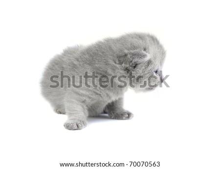 Little british kitten isolated on the white