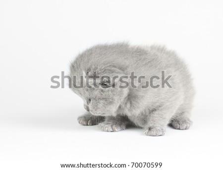 Little british kitten isolated on the white - stock photo