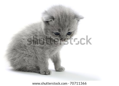 Little british kitten isolated on the white