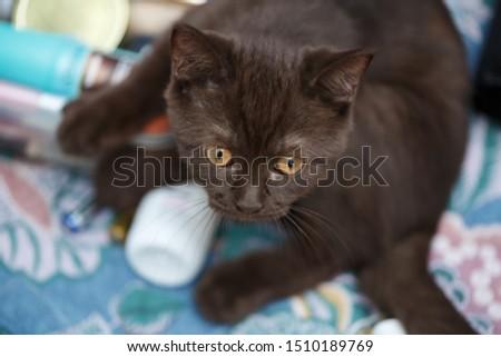 little british kitten  plays on the sofa