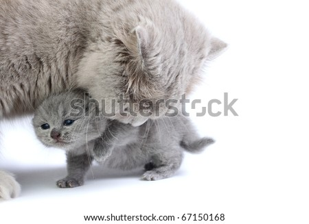 Little british kitten with his mother isolated on the white
