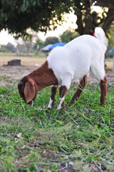 Little brown and white goat  in a meadow and eating grass
