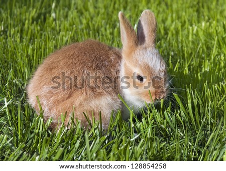 Little brown  and white pet rabbit sitting in a green grass.