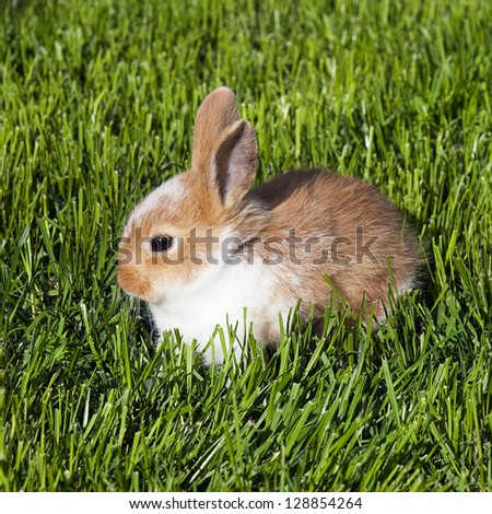 Little brown  and white pet rabbit sitting in a green grass. - stock photo