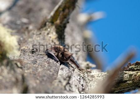 Little Brown Bat (Myotis lucifugus), Vancouver Island