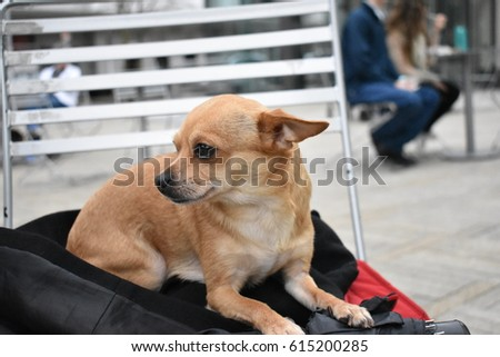 Little Brown Dog chihuahua Laying On A Chair In The City  #615200285