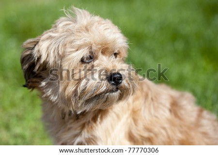 Little brown dog looking to the right