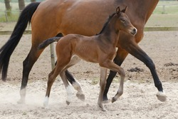 Little brown foal, trosts next to the mother, one week old, during the day with a countryside landscape.