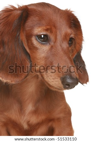 Showthread likewise 15 Super Spotty Dalmatian Cross Breeds besides Wolf Pitbull Mix also Stock Photo Little Brown Long Haired Dachshund Dog likewise American Pitbull Dog. on puppies of different breeds dachshund shar pei rottweiler bulldog