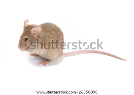 Little brown mouse, isolated on white.