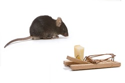 Little brown mouse tempted by the cheese in a mouse trap