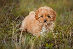 Little brown poodle plays on the grass. Cute dog and good friend.