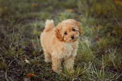 Little brown poodle. Small puppy of toypoodle breed. Cute dog and good friend.