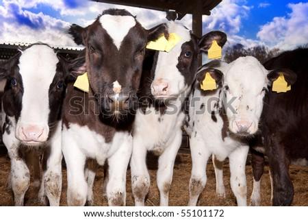 Little bull calfs outdoors in summer time