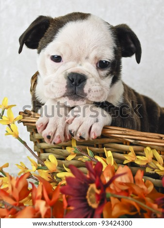 Little Bulldog puppy in a basket with fall flowers. On a white background. - stock photo