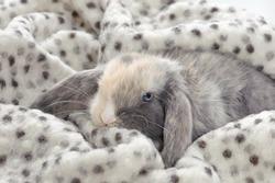 little bunny hiding in a blanket