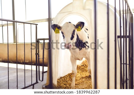 Photo of  Little calf with yellow ear tags standing in cage in sunny livestock barn on farm in countryside looking at camera. Cattle breeding, taking care of animals, dairy and meat production concept