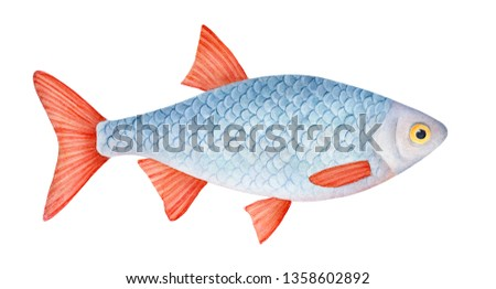 Little carp fish watercolour illustration. Symbol of luck, success, prosperity, joy, youth, bravery. One single animal, side view, close up. Handdrawn water color graphic drawing on white background.