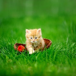 Little cat in wicker basket on green grass outdoors