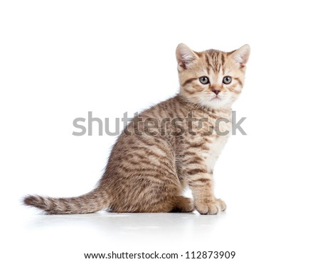 little cat kitten isolated on white