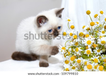 Little cat playing with chamomile