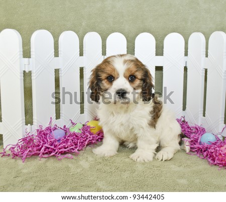Little Cavachon puppy sitting in front of a white picket fence with Easter eggs and grass. - stock photo