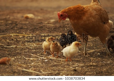 little chick with a hen's mother playing and running in the backyard, a farm with pets