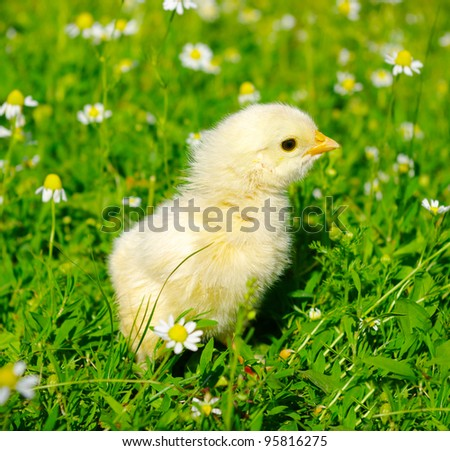 little chicken on a grass