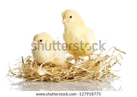 Little chickens on nest