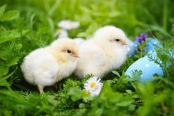 Little chickens with colorful painted Easter eggs on green grass