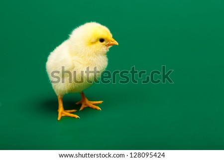 Little chicknen on white background