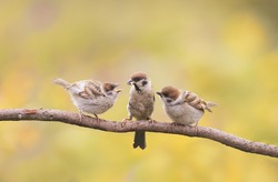 little Chicks and parent Sparrow sitting on a branch little beaks Agape