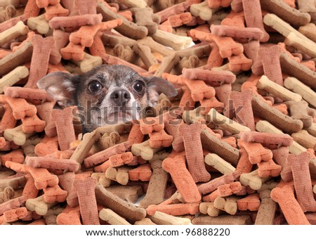 Little chihuahua buried in a large pile of dog bone treats