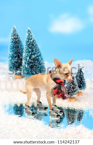 Little chihuahua dog with ice skates and wool scarf skating in a winter scene